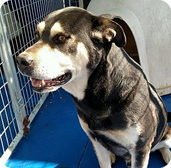Rottweiler/Shepherd (Unknown Type) Mix Dog for adoption in New Kent, Virginia - Zeke