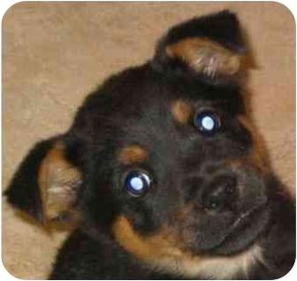 German Shepherd Dog/Shepherd (Unknown Type) Mix Puppy for adoption in Dripping Springs, Texas - Greta