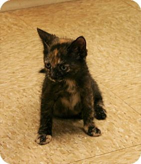 Domestic Shorthair Kitten for adoption in Hastings, Nebraska - Cotton Candi