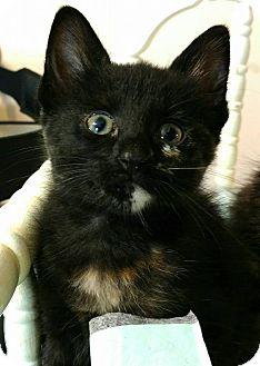 American Shorthair Kitten for adoption in Texarkana, Arkansas - Izzy