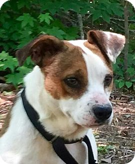 Jack Russell Terrier Mix Dog for adoption in Harrisonburg, Virginia - Russ