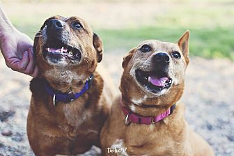 Blue Heeler Mix Dog for adoption in New Richmond,, Wisconsin - Shaney