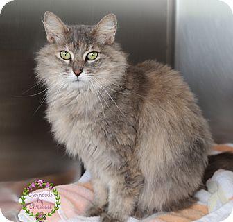 Domestic Mediumhair Cat for adoption in Sierra Vista, Arizona - Smoke