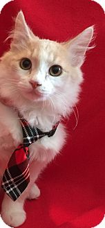 Domestic Mediumhair Cat for adoption in Meridian, Idaho - Creamsicle