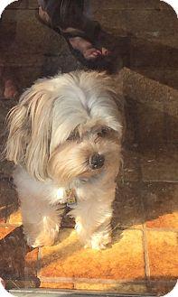 Yorkie, Yorkshire Terrier/Maltese Mix Dog for adoption in Kansas City, Missouri - Ella