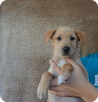 Labrador Retriever/Golden Retriever Mix Puppy for adoption in Oviedo, Florida - Lilac