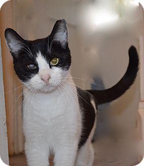Domestic Shorthair Cat for adoption in Horsham, Pennsylvania - Eddie