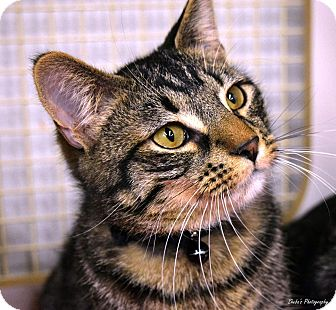 Domestic Shorthair Cat for adoption in Kenai, Alaska - Joel