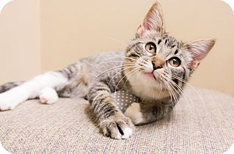 Domestic Shorthair Kitten for adoption in Chicago, Illinois - Button