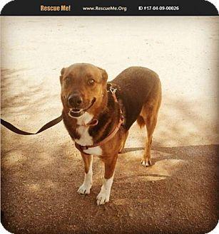 Australian Shepherd Mix Dog for adoption in Phoenix, Arizona - Rotty