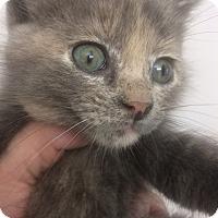 Domestic Shorthair Kitten for adoption in St. Louis, Missouri - Ripley