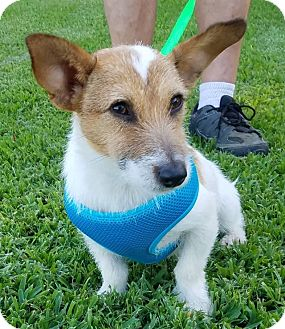 Jack Russell Terrier Puppy for adoption in Houston, Texas - Gremlin in Houston, TX