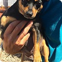 Adopt A Pet :: Jelly Bean, Six yr. chi, angel - Corona, CA