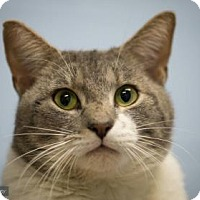 Domestic Shorthair Cat for adoption in Lowell, Massachusetts - Prince