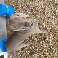 Adopt A Pet :: Steel - Manassas Park, VA