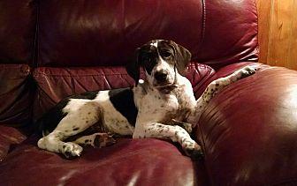 Pointer/Labrador Retriever Mix Puppy for adoption in Ashburn, Virginia - Josi