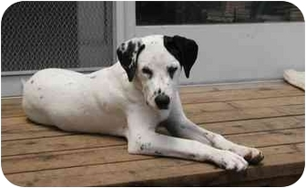 Dalmatian Dog for adoption in Pacific Grove, California - Howie