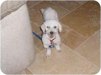 Bichon Frise Dog for adoption in Scottsdale, Arizona - Ryley