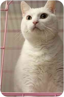 Domestic Shorthair Cat for adoption in Westbrook, Maine - Casper