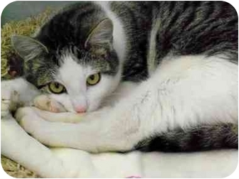Domestic Shorthair Cat for adoption in San Clemente, California - MADISON