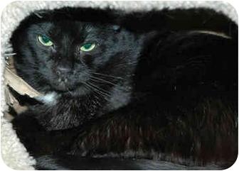 Domestic Shorthair Cat for adoption in Warminster, Pennsylvania - Percy Junior