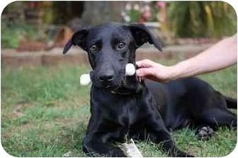 Labrador Retriever Mix Dog for adoption in Nashville, Tennessee - Stewie