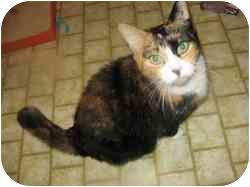 Calico Cat for adoption in Randolph, Vermont - Beatrix