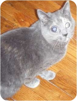 Domestic Shorthair Cat for adoption in Kensington, Maryland - Penny