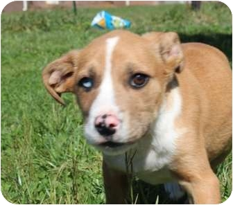 Australian Shepherd Mix Puppy for adoption in Salem, New Hampshire - Gamer