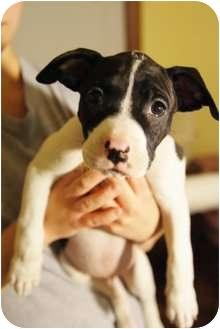 Boxer/Pit Bull Terrier Mix Puppy for adoption in Medford, Massachusetts - Boris
