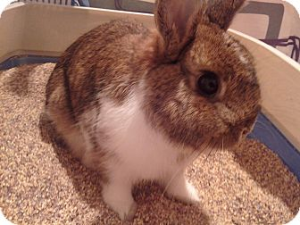 Netherland Dwarf Mix for adoption in Lakeland, Florida - Thumper