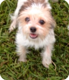 Shih Tzu/Terrier (Unknown Type, Small) Mix Dog for adoption in Mary Esther, Florida - Dinky