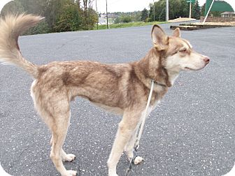 Husky Mix Dog for adoption in Augusta County, Virginia - Dalton