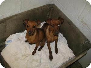 Miniature Pinscher Mix Dog for adoption in Sugar Land, Texas - FRACK