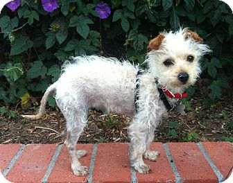 Terrier (Unknown Type, Small) Mix Puppy for adoption in Goleta, California - Q-tip