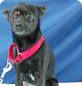 Chihuahua Mix Dog for adoption in Bradenton, Florida - Joku