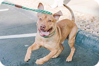 Pit Bull Terrier/Vizsla Mix Dog for adoption in Marietta, Georgia - Cracker Jack