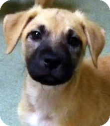 German Shepherd Dog Mix Puppy for adoption in Los Angeles, California - Tulip *VIDEO*