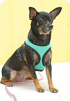 Chihuahua Dog for adoption in Englewood, Florida - Kahlua
