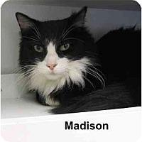 Adopt A Pet :: Madison - AUSTIN, TX