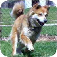 Siberian Husky/Chow Chow Mix Dog for adoption in Various Locations, Indiana - Happy