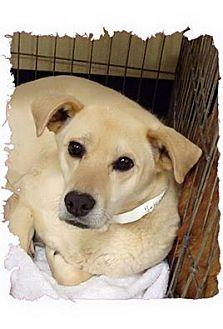 Labrador Retriever Mix Dog for adoption in Las Vegas, Nevada - Bandit