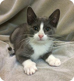 Domestic Shorthair Kitten for adoption in Bonner Springs, Kansas - Mortimer