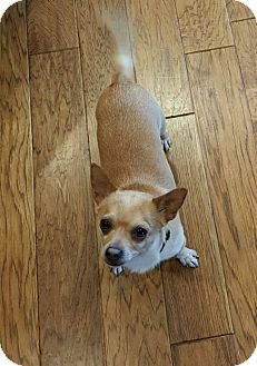 Chihuahua Mix Dog for adoption in Maryville, Illinois - Tito