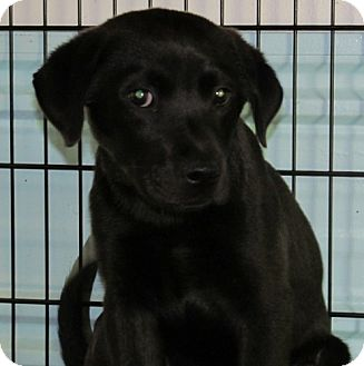 Labrador Retriever Puppy for adoption in Newburgh, Indiana - Gypsy - Cute !