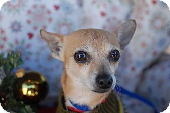 Chihuahua Mix Dog for adoption in Hamilton, Ontario - Buster