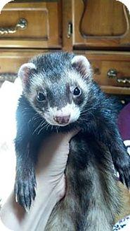 Ferret for adoption in Hartford, Connecticut - Nixx