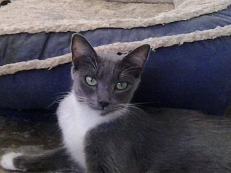 Russian Blue Cat for adoption in Lancaster, California - Jasmin