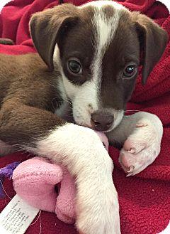 Labrador Retriever/Border Collie Mix Puppy for adoption in Boulder, Colorado - Trevor-Adoption Pending