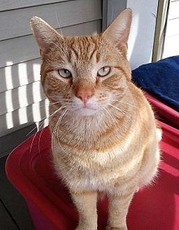 Domestic Shorthair Cat for adoption in Aylett, Virginia - Mango